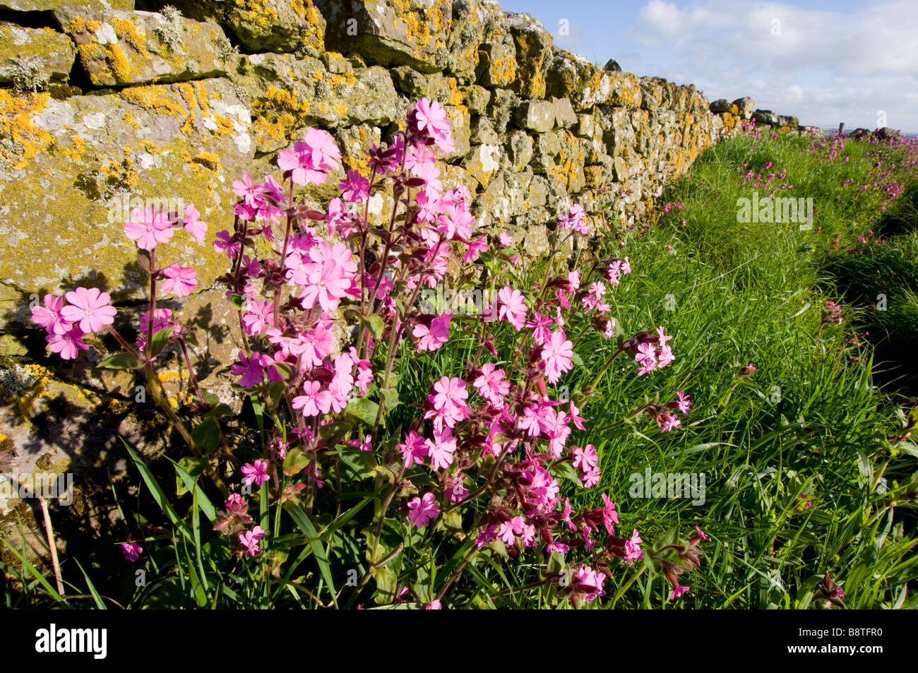 Red campion, Silene dioica, wild flowers growing by a drystone wall on the coast of Aberdeenshire, Scotland. Stock Photo