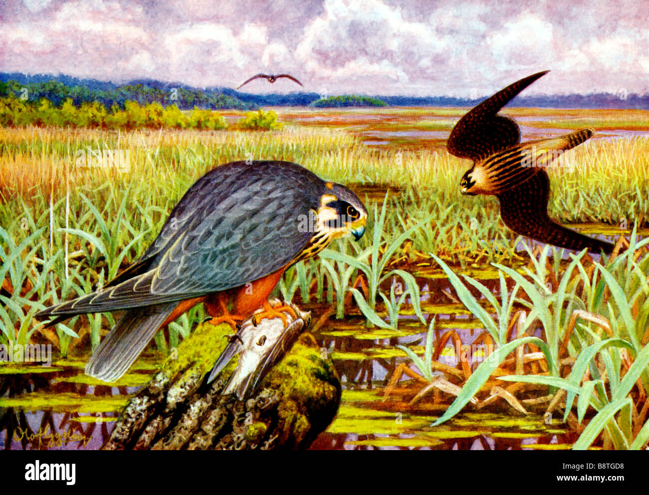 The Eurasian Hobby (Falco subbuteo) an old male and a young bird, 19th century illustration by Olof Gylling (1850 Stock Photo