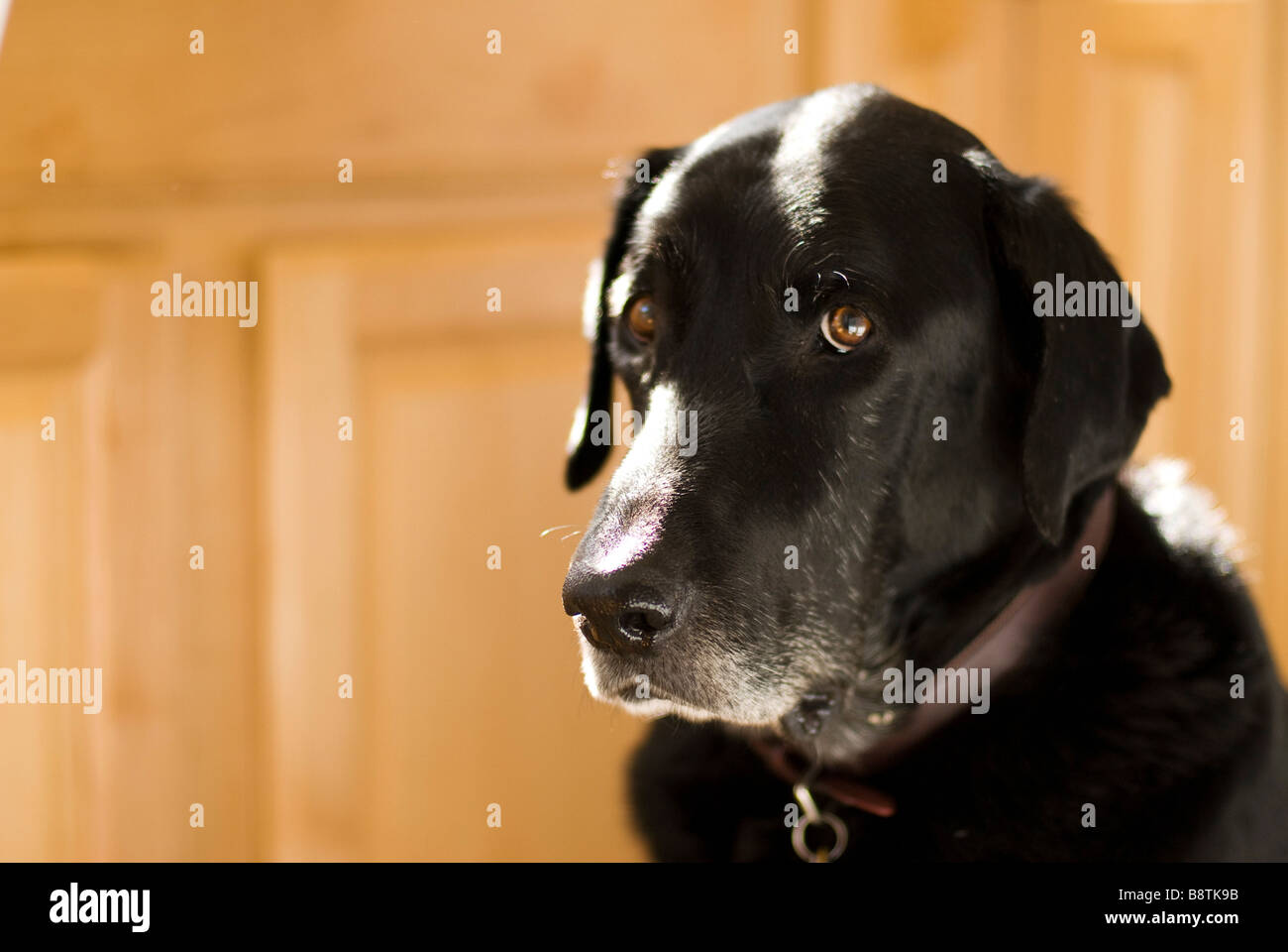 black labrador sitting up Stock Photo