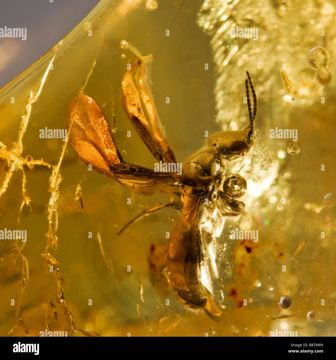 Prehistoric Winged ant preserved in Baltic Lithuanian Amber - Stock Image