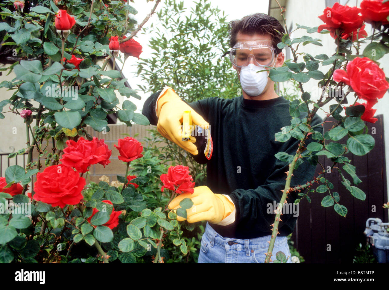 Teen boy sprays chemical onto rose bush to control pest bug insect fungus rubber glove protect fertilizer bottle - Stock Image