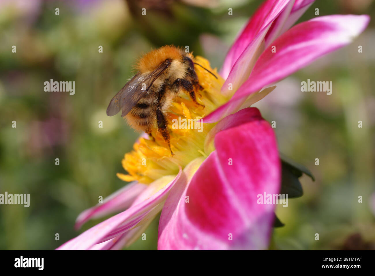 Flower and Bee - Stock Image