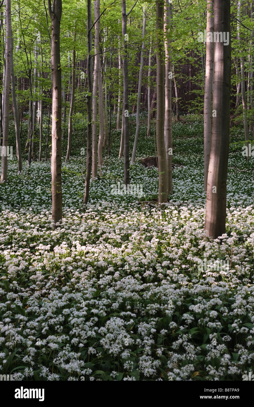 Wild Garlic, Kirkdale, Pickering, North Yorkshire, England, UK - Stock Image