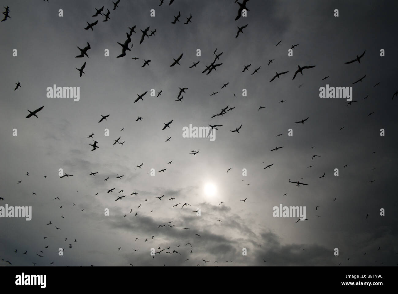 photograph of gannets flying against the sun - Stock Image