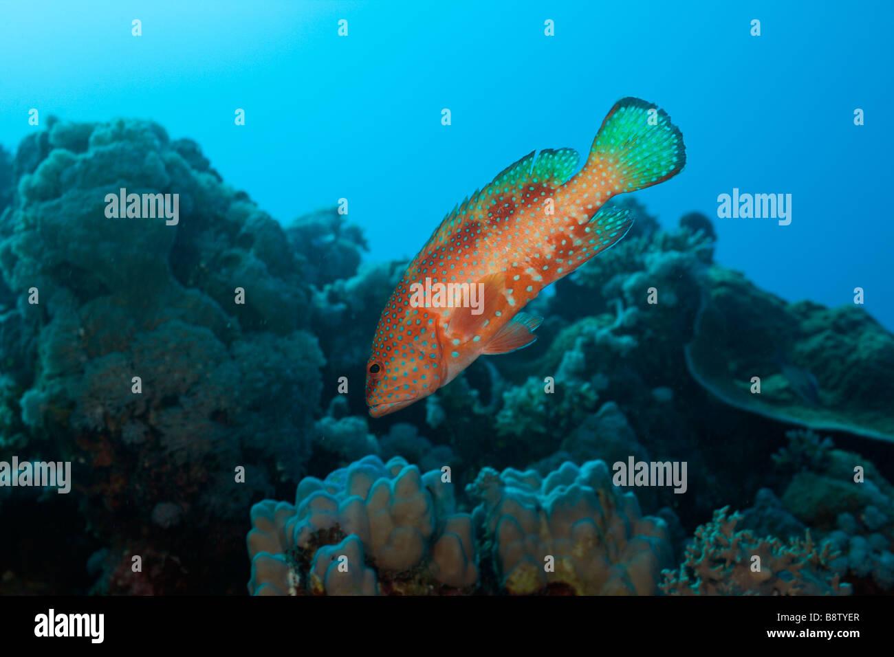 Coral Grouper Cephalopholis miniatus Nuweiba Sinai Red Sea Egypt Stock Photo