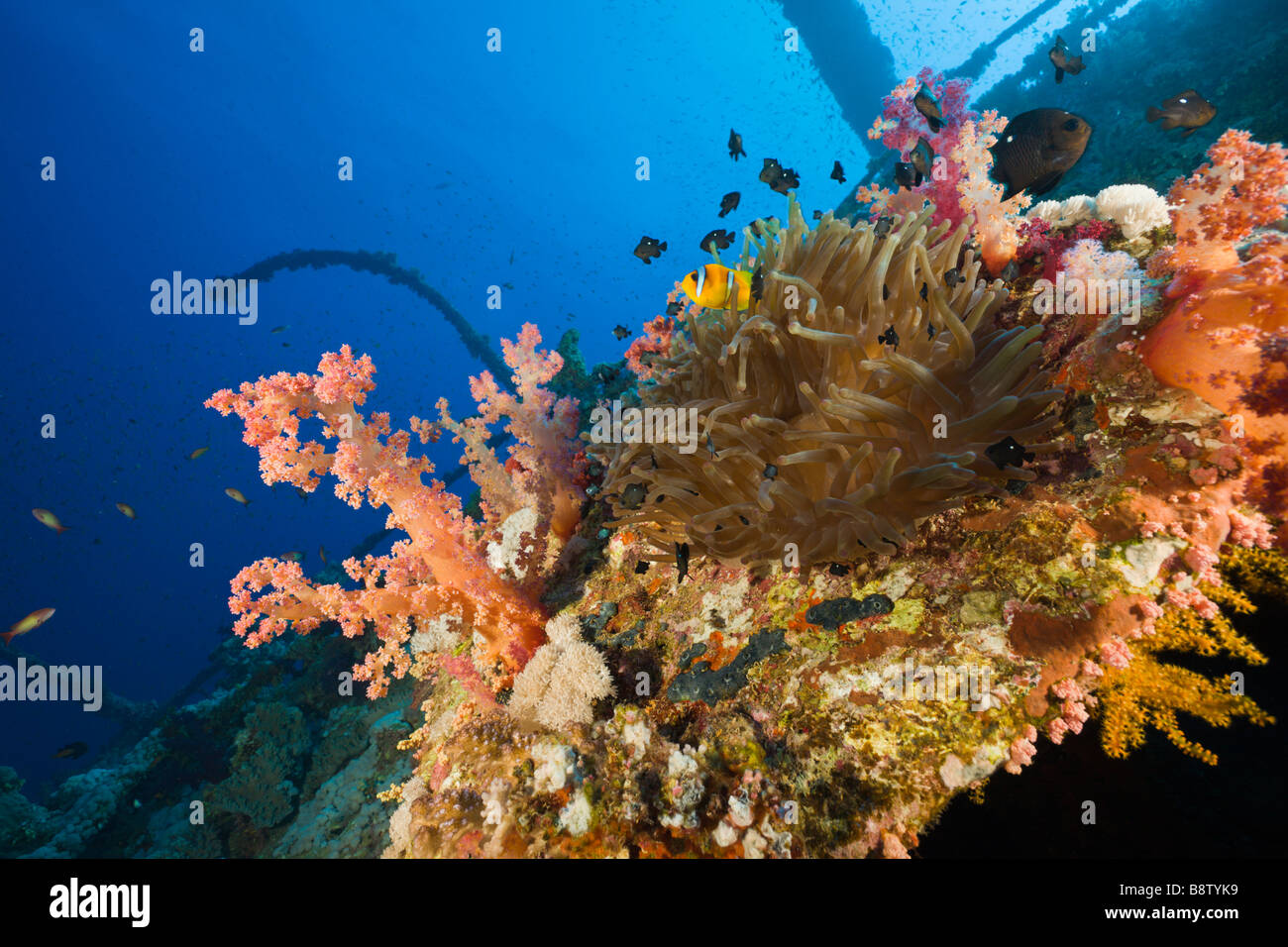 Sea Anemone at Numidia Wreck Heteractis magnifica Brother Islands Red Sea Egypt - Stock Image