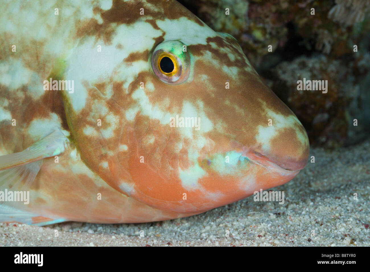 Parrotfish sleeps at Night Scarus Marsa Alam Red Sea Egypt - Stock Image