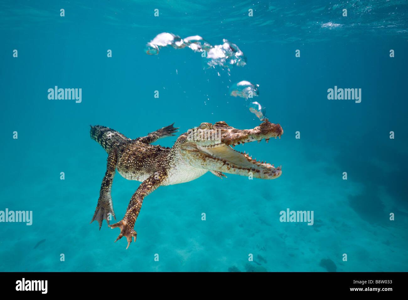 Saltwater Crocodile Crocodylus porosus Queensland Australia - Stock Image