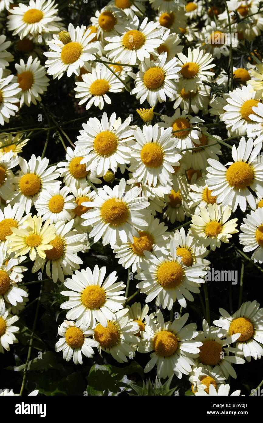 White argyranthemum flower daisy daisies bloom stock photos white white daisy type flowers stock image izmirmasajfo