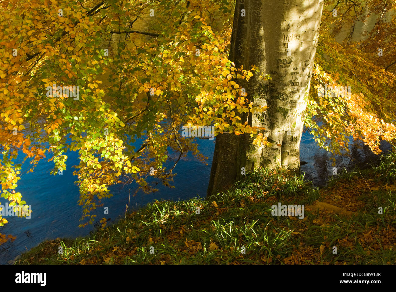 photograph of beech tree in autumn next to river - Stock Image