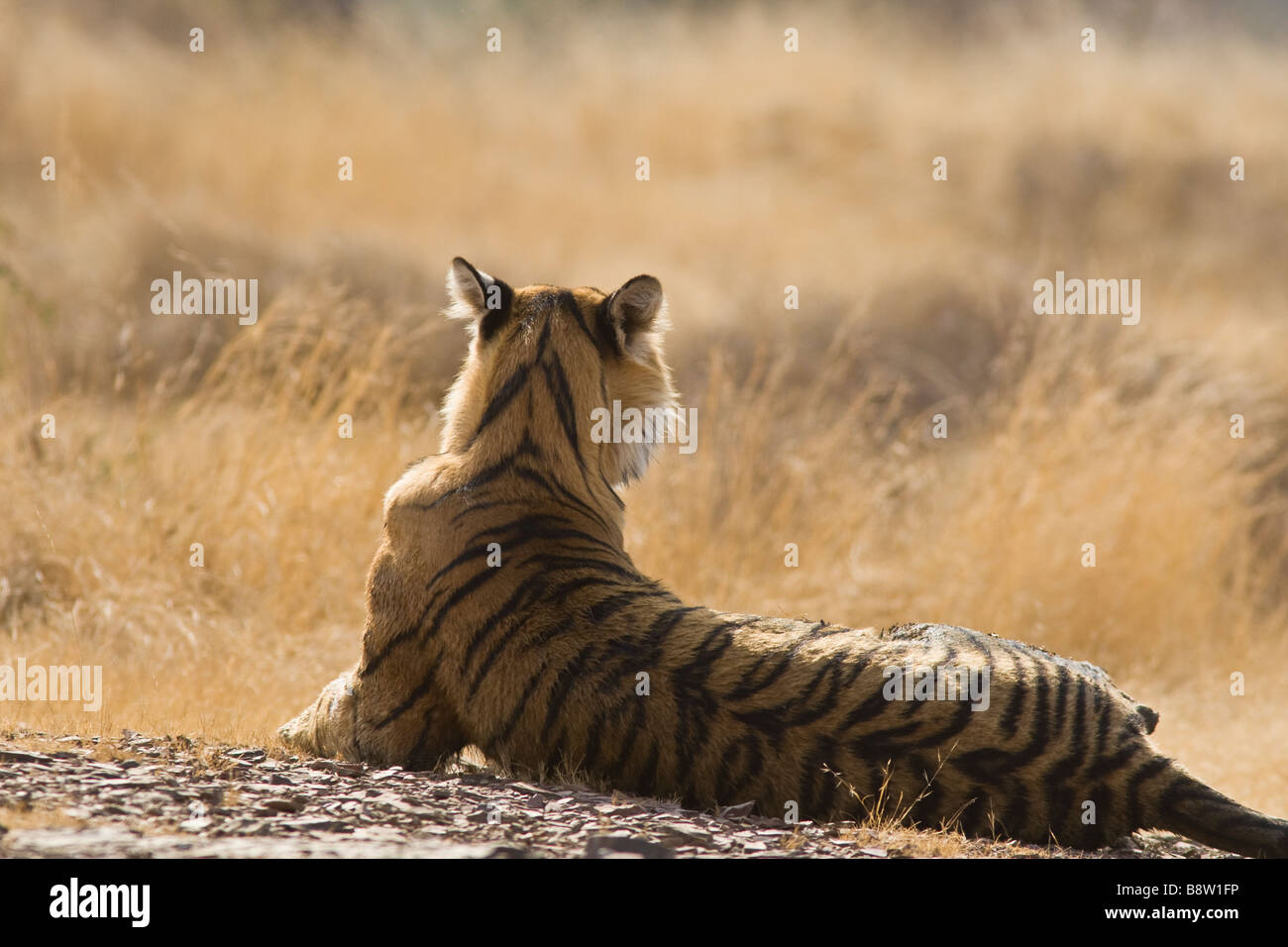 Bengal tiger (Panthera tigris tigris) resting in the sun. Ranthambhore National Park Rajasthan India - Stock Image