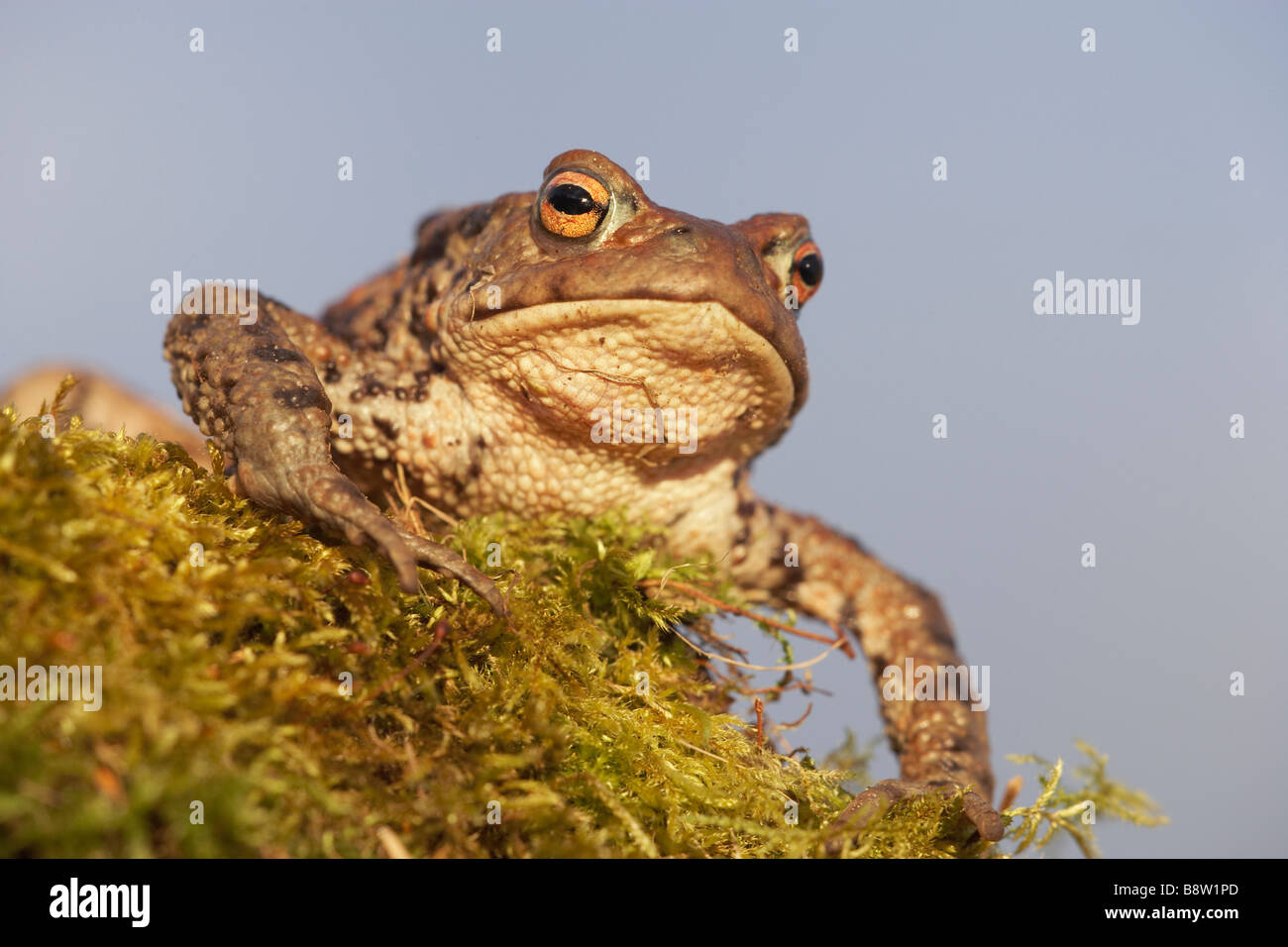 European Common Toad (Bufo bufo), adult male on moss-covered rock - Stock Image