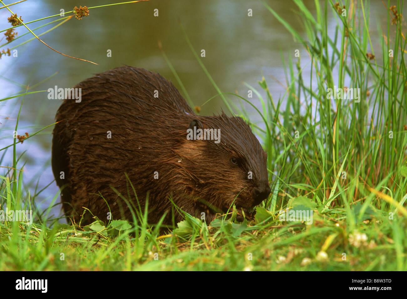 American Beaver (Castor canadensis) feeding on riverbank Stock Photo