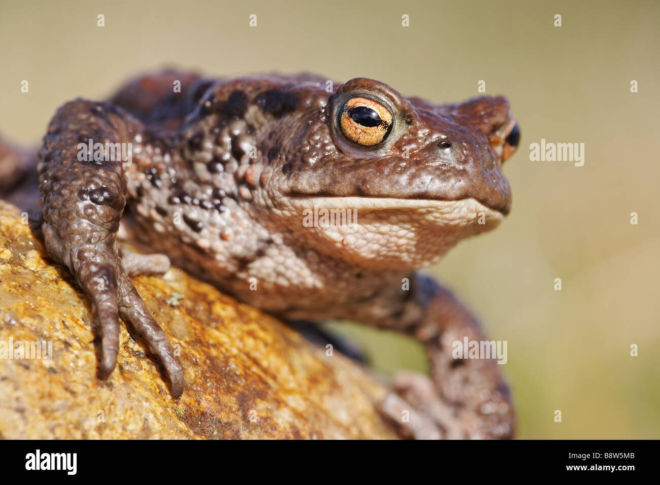 European Common Toad (Bufo bufo), close-up of adult resting on rock - Stock Image