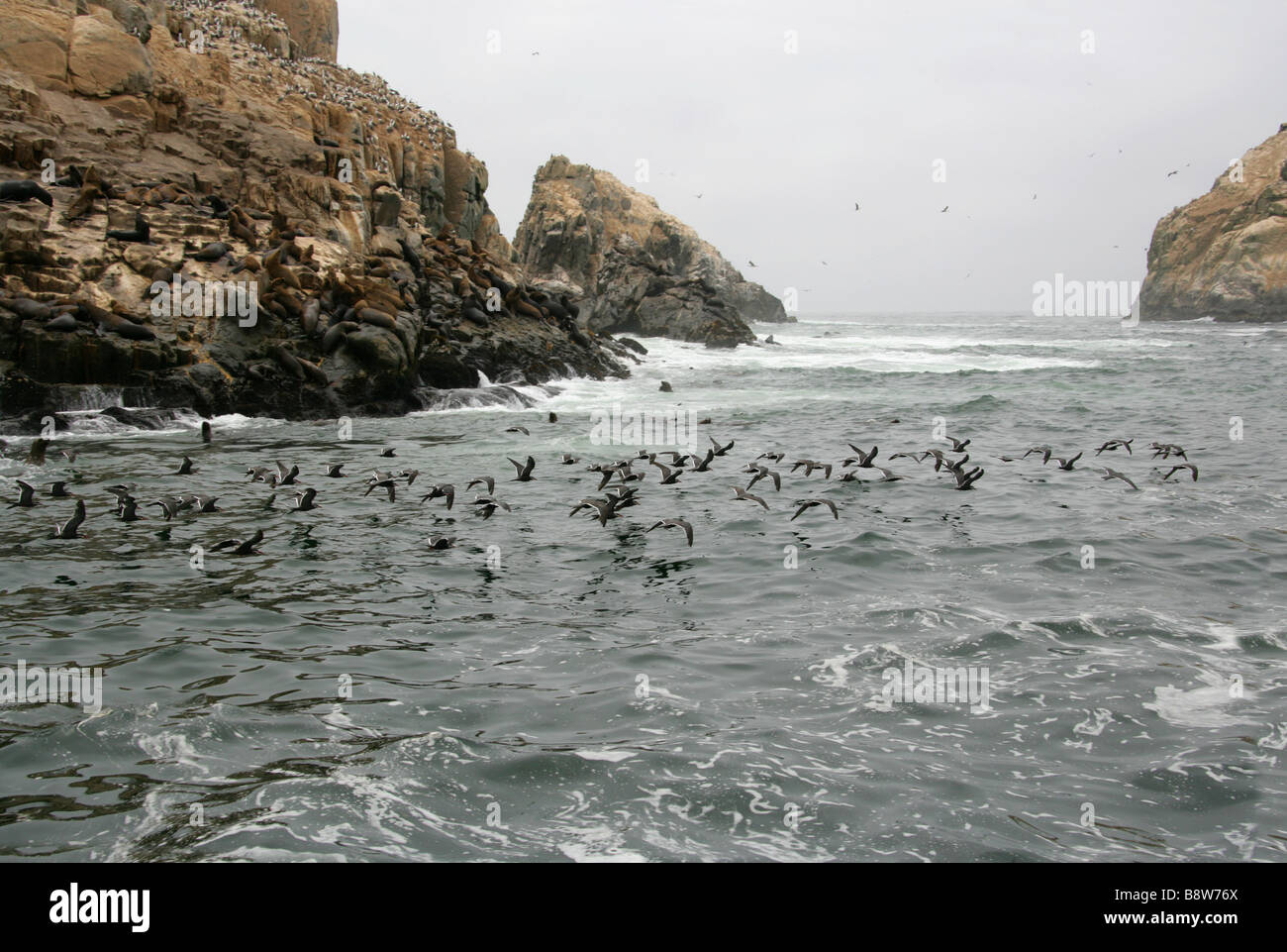 Flock of Inca Terns Flying Past a South American Sea Lion Colony and Peruvian Bobby Colony, Palomino Islands, Callao, - Stock Image