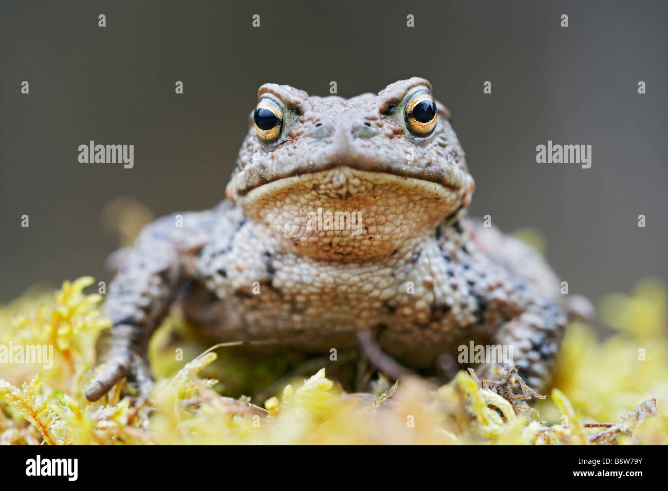 European Common Toad (Bufo bufo), adult male resting on moss - Stock Image