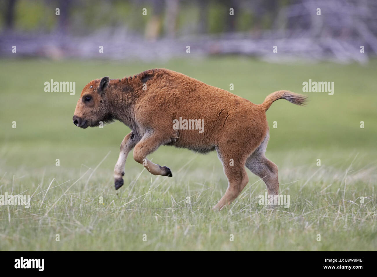 Bison (Bison bison), young calf running - Stock Image