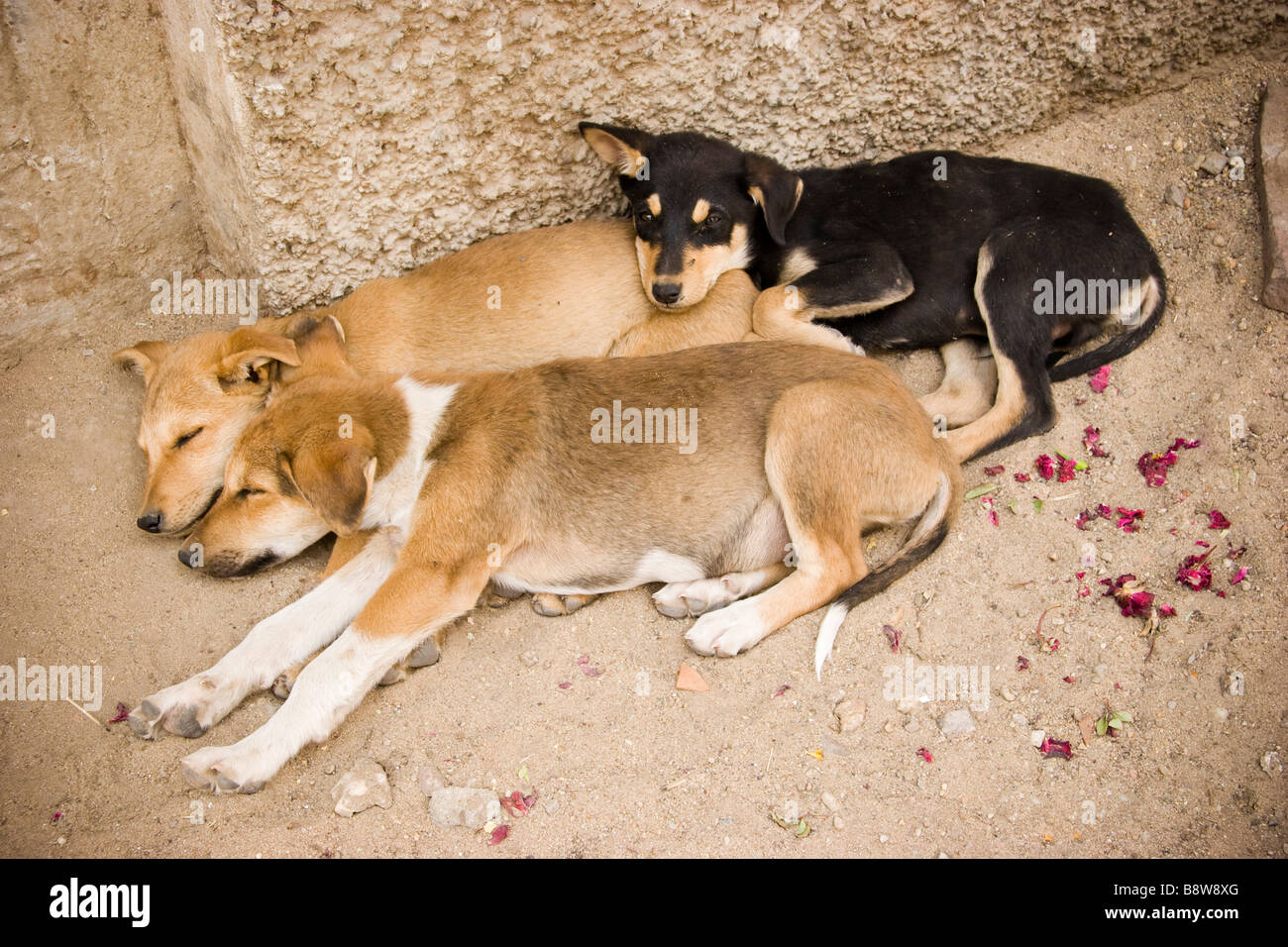 Puppy dogs Pushkar Rajasthan India - Stock Image