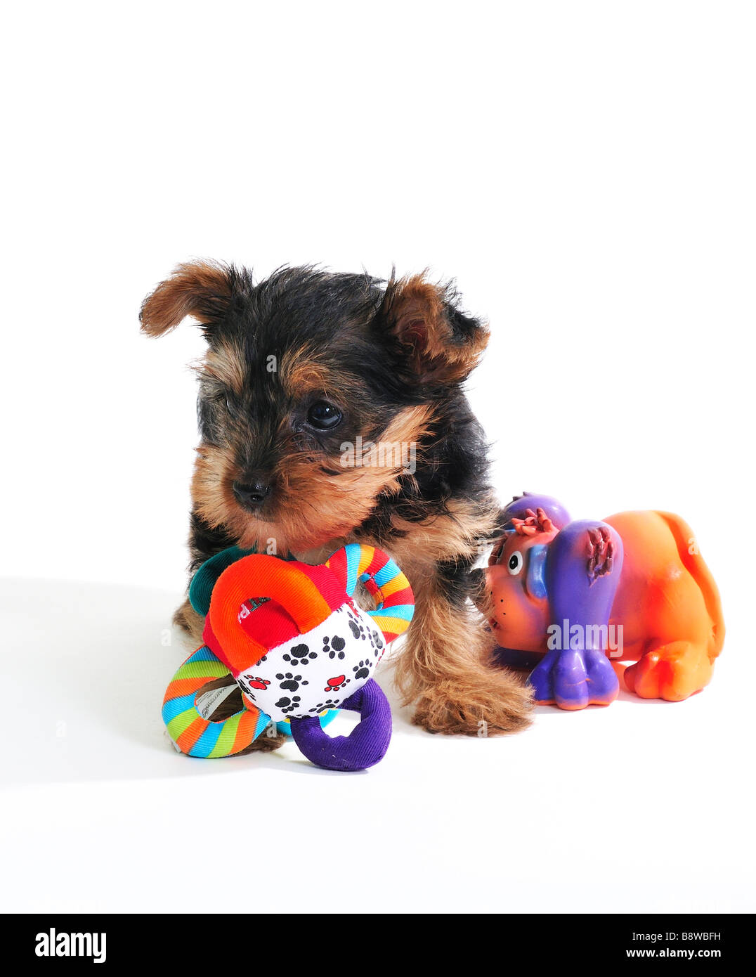 A 7 week old Yorkshire Terrier puppy, Canis lupus familiaris, with two squeaky toys, isolated on white. - Stock Image