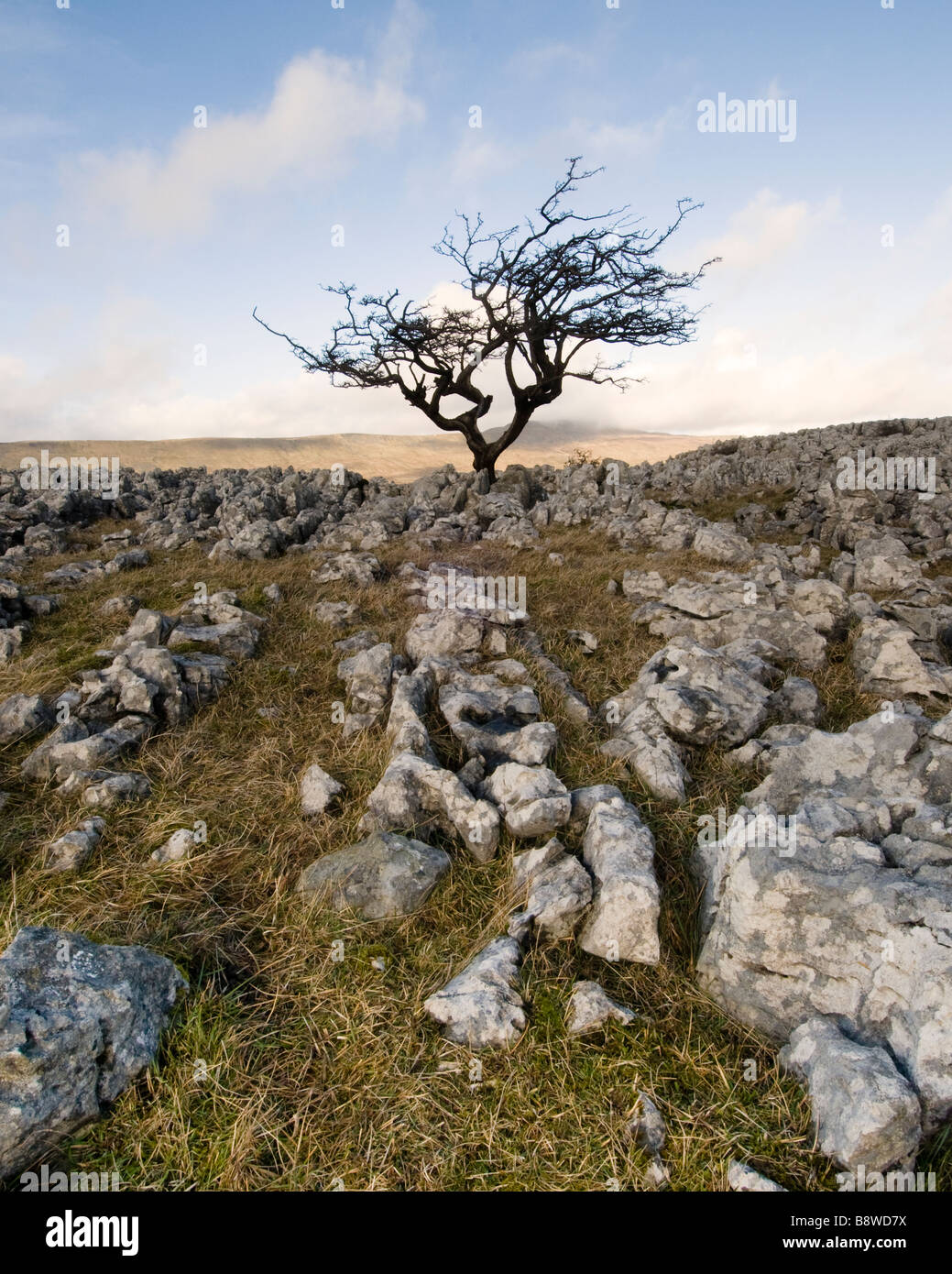 A solitary hawthorn tree withstands the elements in the harsh limestone pavement beneath Ingleborough in the Yorkshire - Stock Image