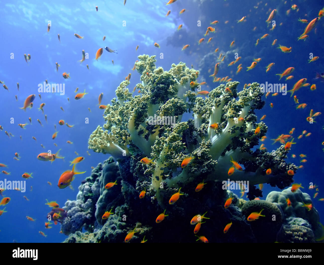 Underwater landscape with Scalefin Anthias and soft coral Red Sea - Stock Image