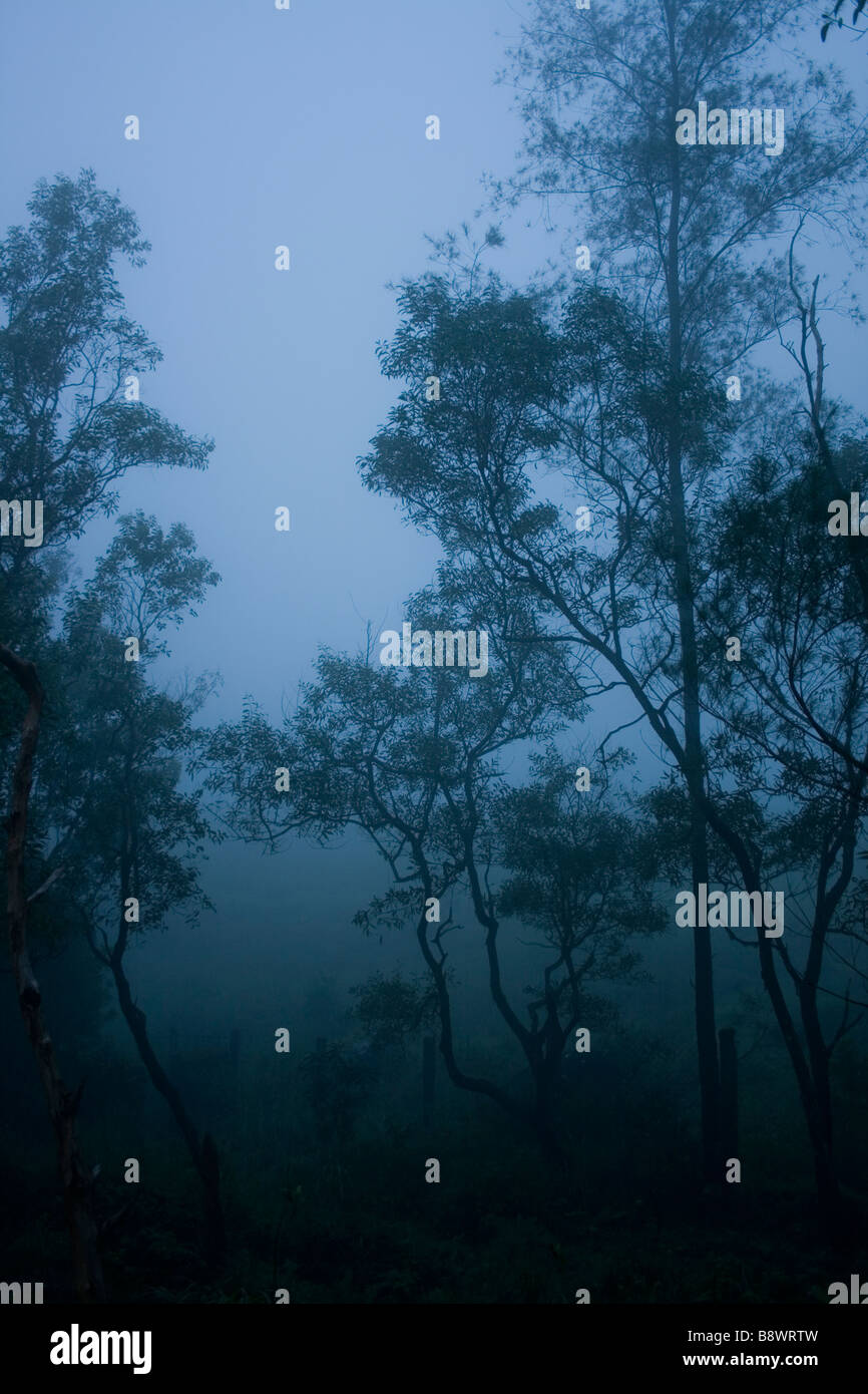 Eucalyptus trees surrounded by fog in Ponmudi, Kerala. - Stock Image