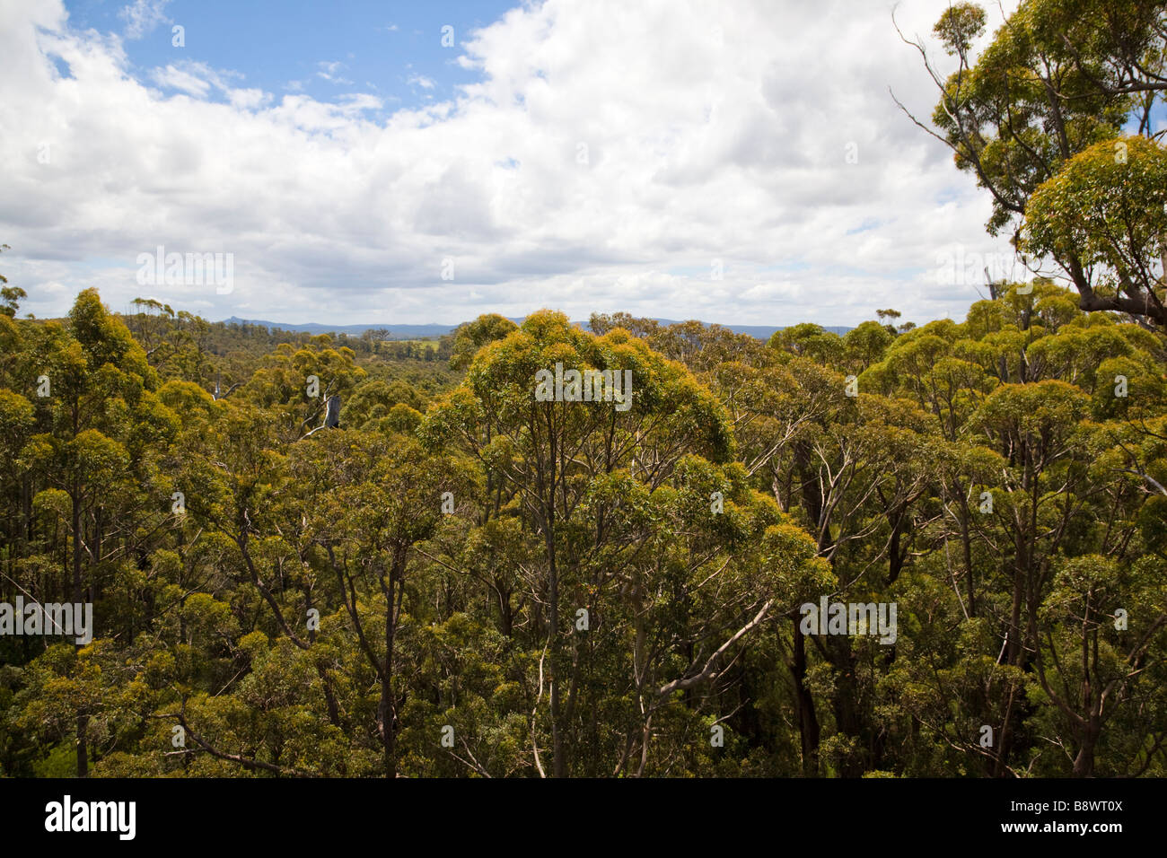 View from the top of the tree top walk Valley Of The Giants - Stock Image