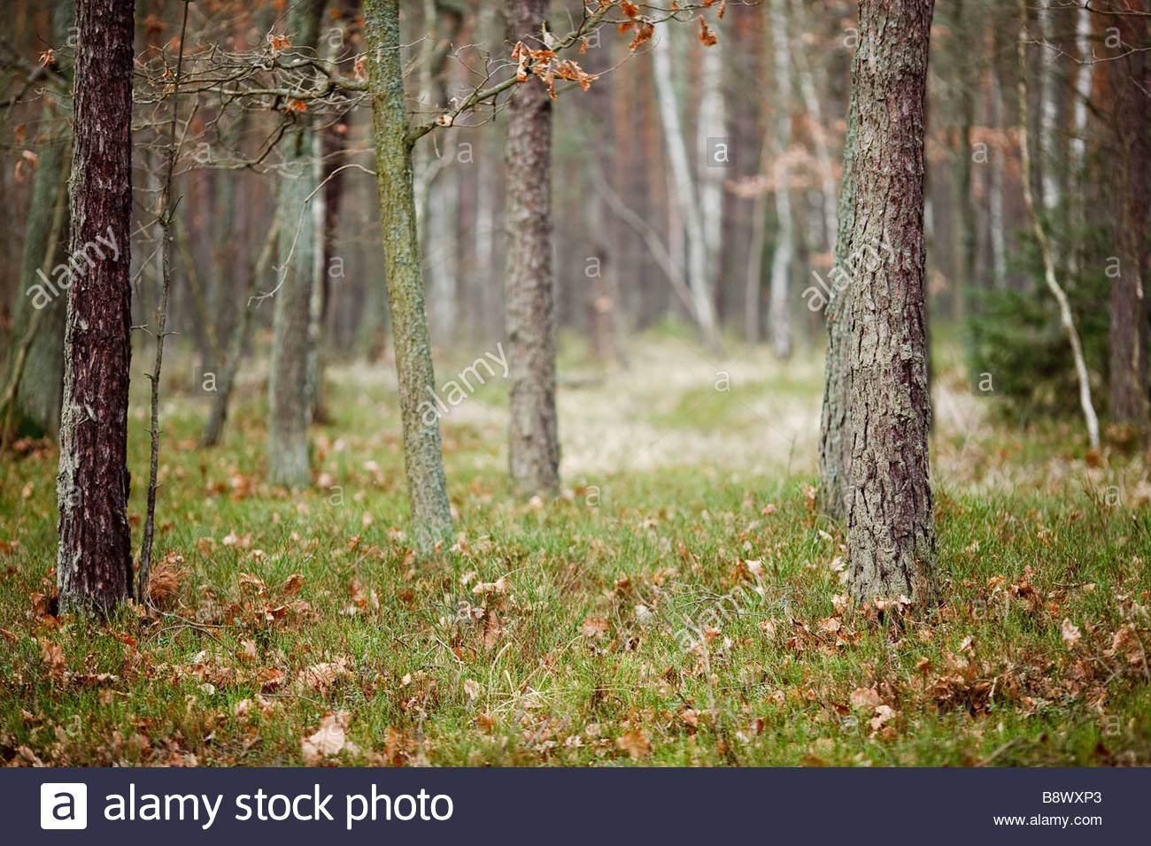 deep forrest in poland in autumn - Stock Image