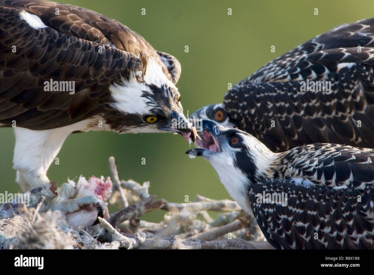 Osprey (Pandion haliaetus) feeding its young ones - Stock Image
