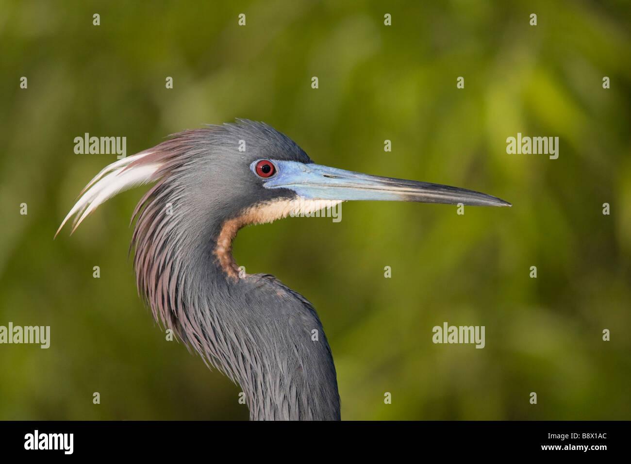 Close-up of a Tricolored heron (Egretta tricolor) - Stock Image