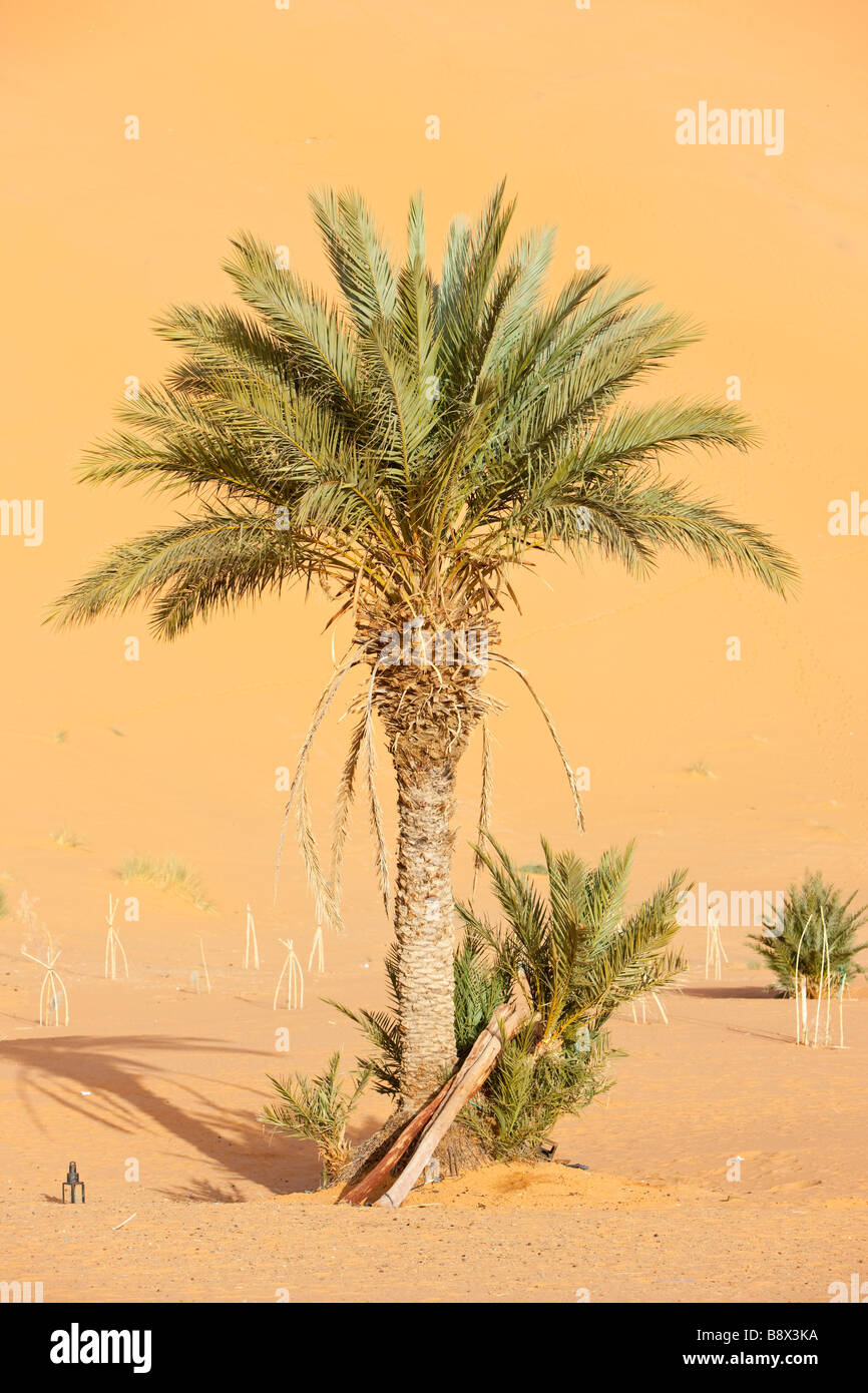 A lone palm tree in Erg Chebbi at the western edge of the Sahara Desert - Stock Image