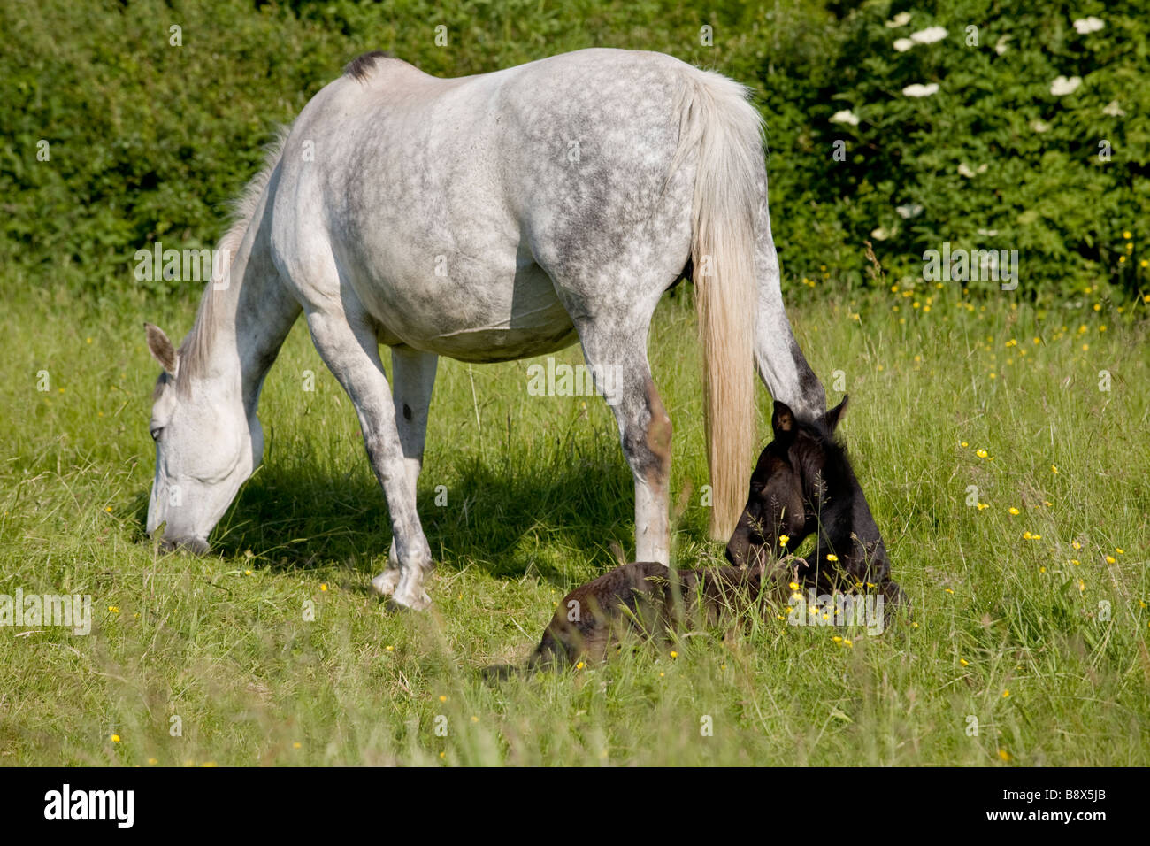 GRAZING MARE WITH RESTING  WITH IN FIELD ENGLAND - Stock Image