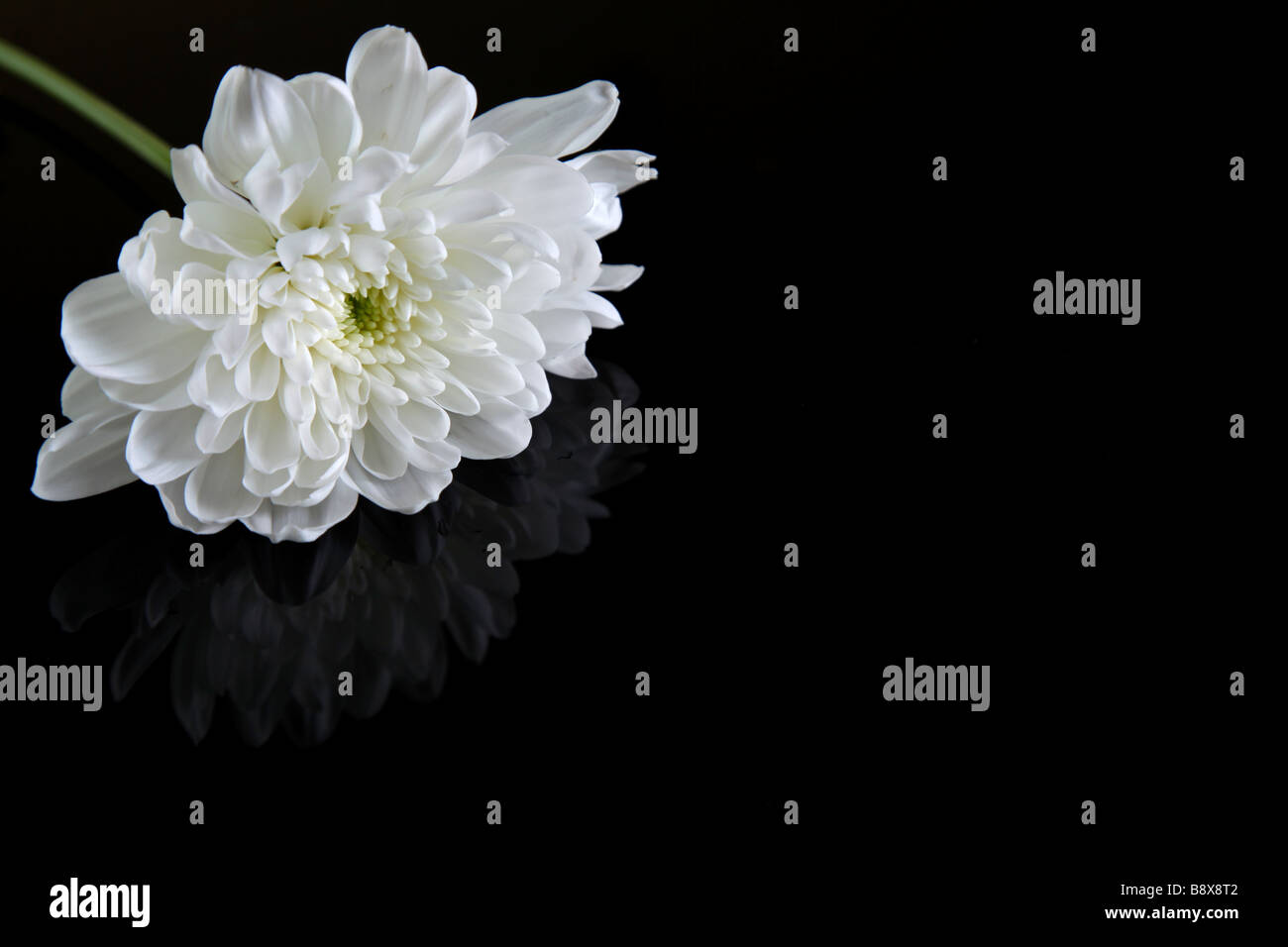 White flower on black - Stock Image