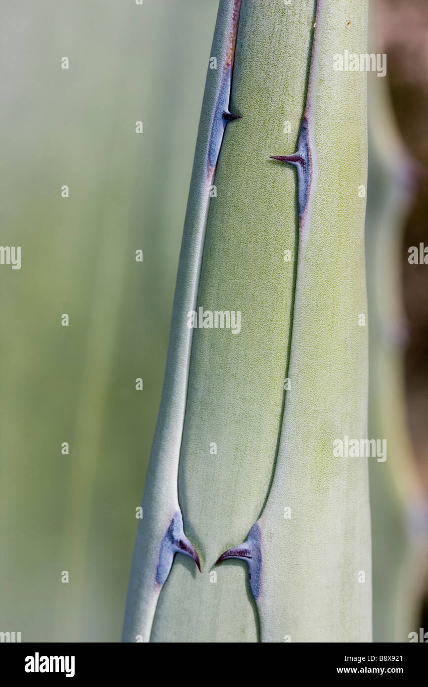 Detail of thorn Aloe vera plant shallow DOF - Stock Image