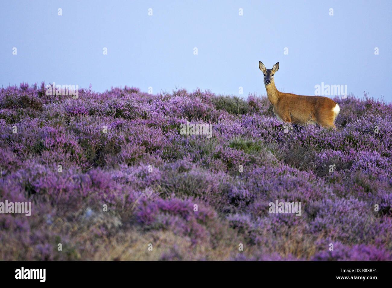 Roe Deer (Capreolus capreolus), doe (female) on heather moor in late summer - Stock Image