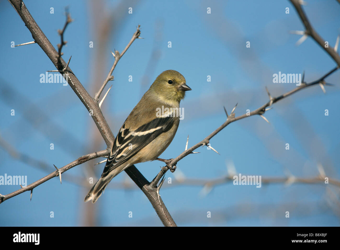 American goldfinch Carduelis tristis New Mexico USA winter - Stock Image