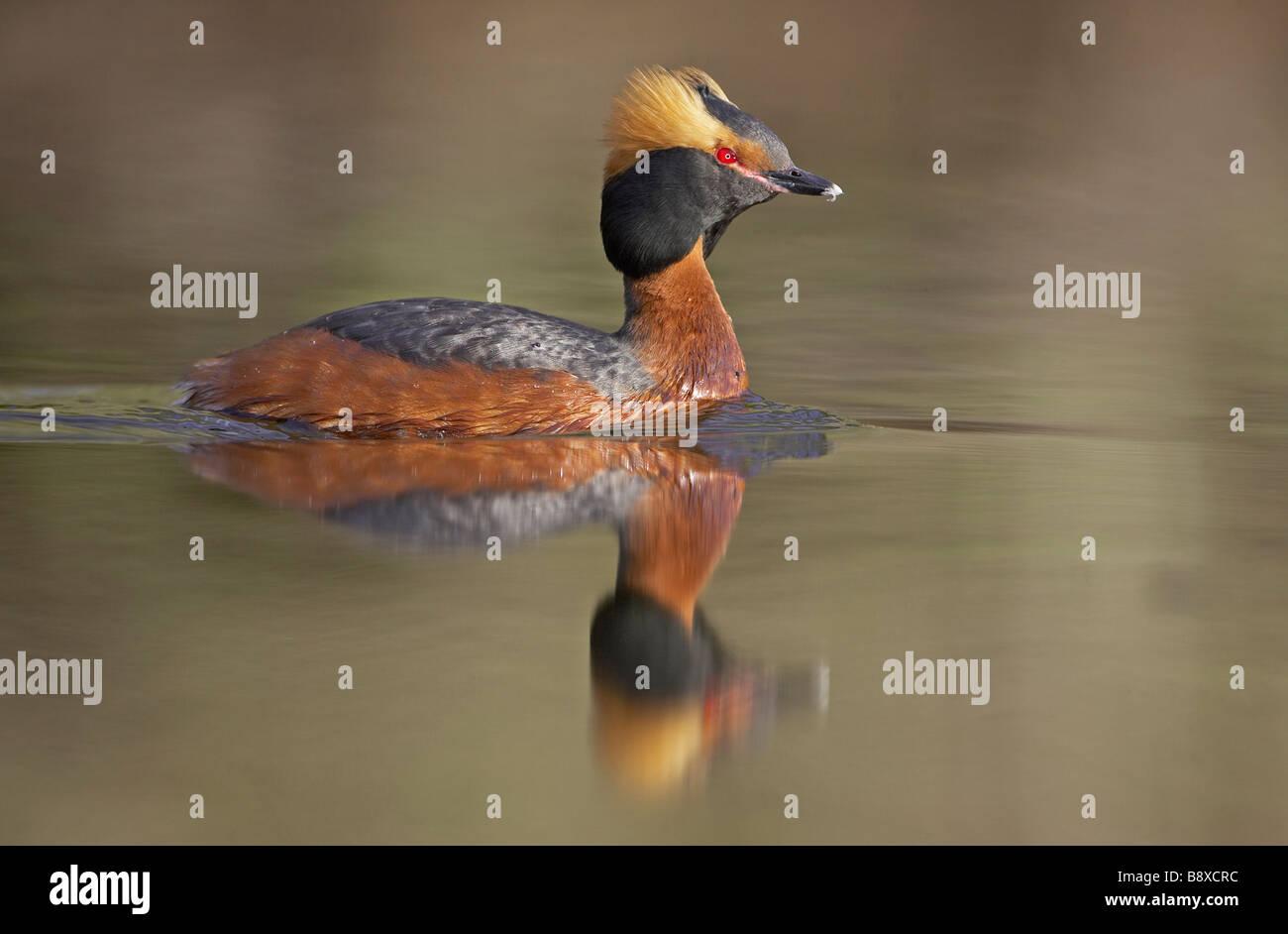 Slavonian Grebe (Podiceps auritus) on water - Stock Image