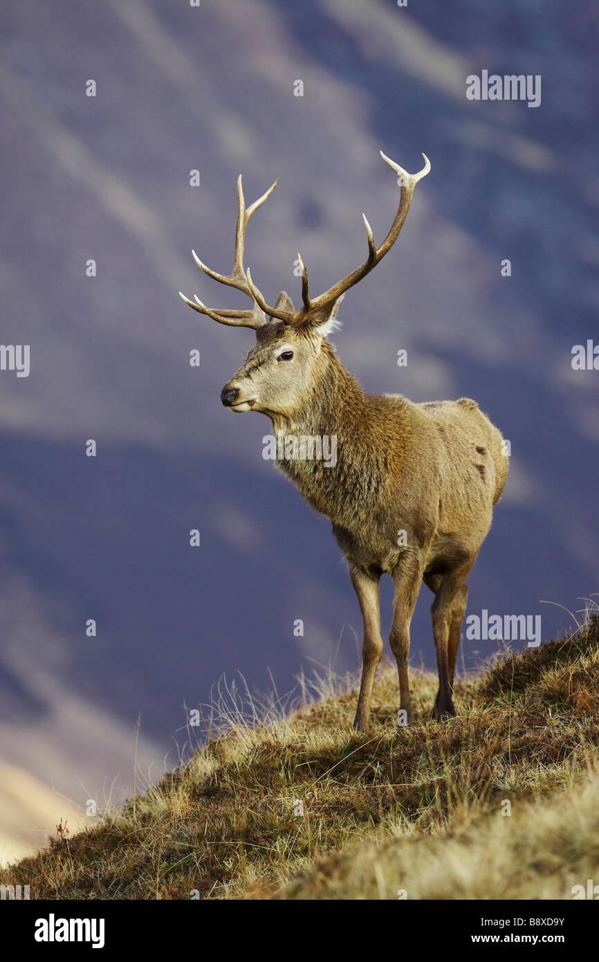 Red Deer (Cervus elaphus), stag on moorland - Stock Image