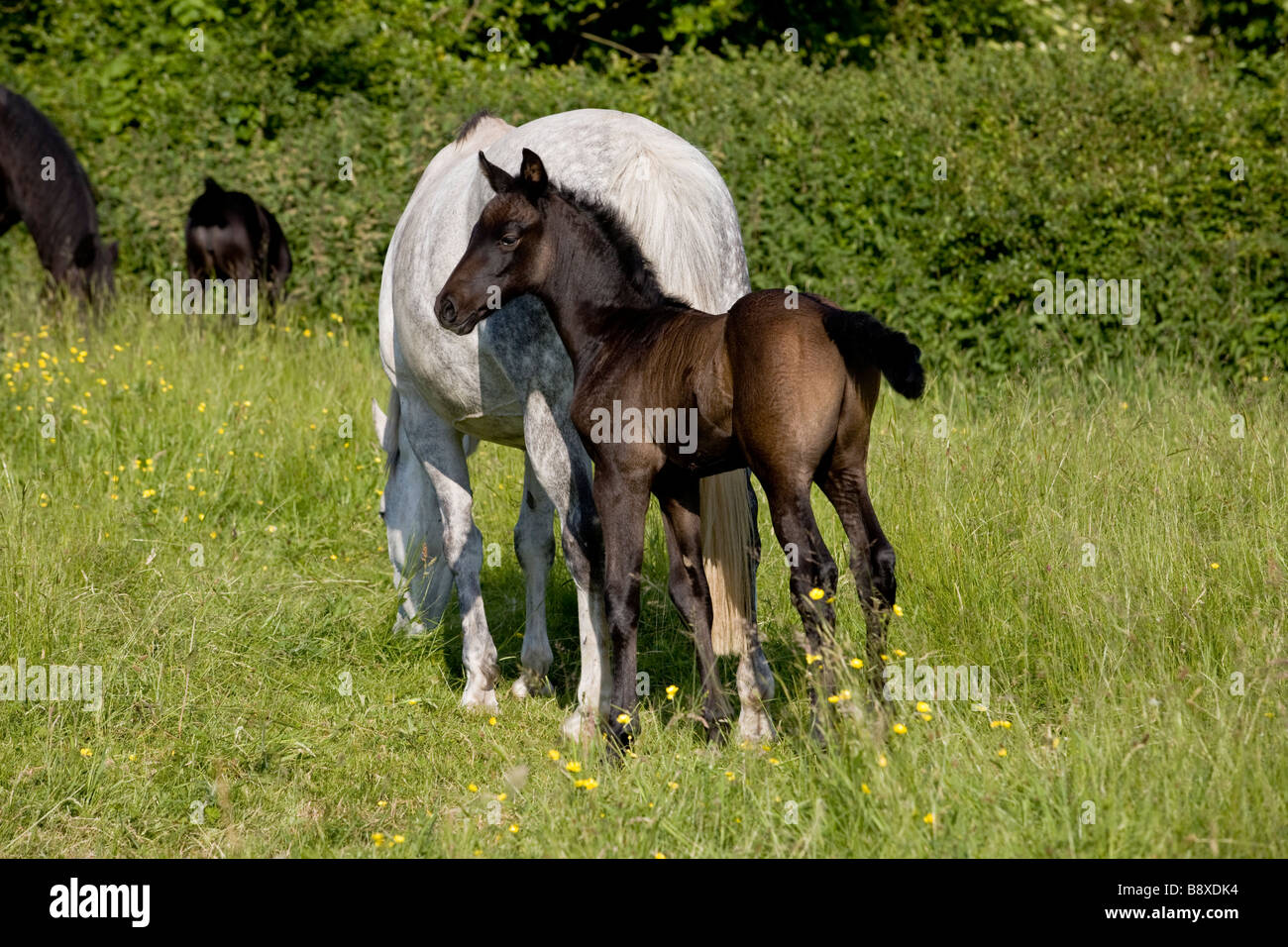 HORSE WITH FOAL IN FIELD ENGLAND - Stock Image