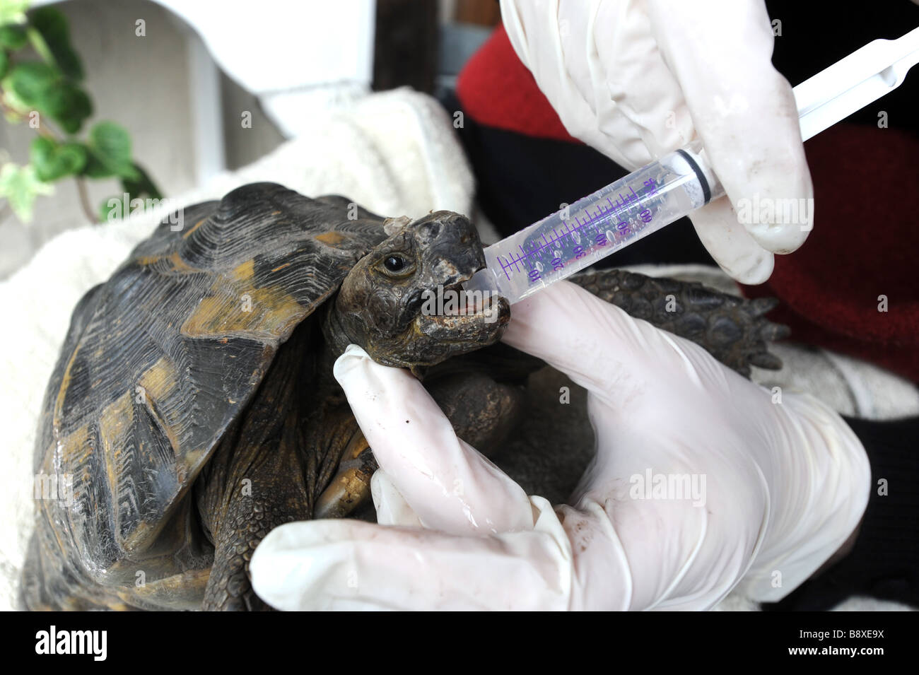 Tortoise gets first drink from syringe after waking from hibernation - Stock Image