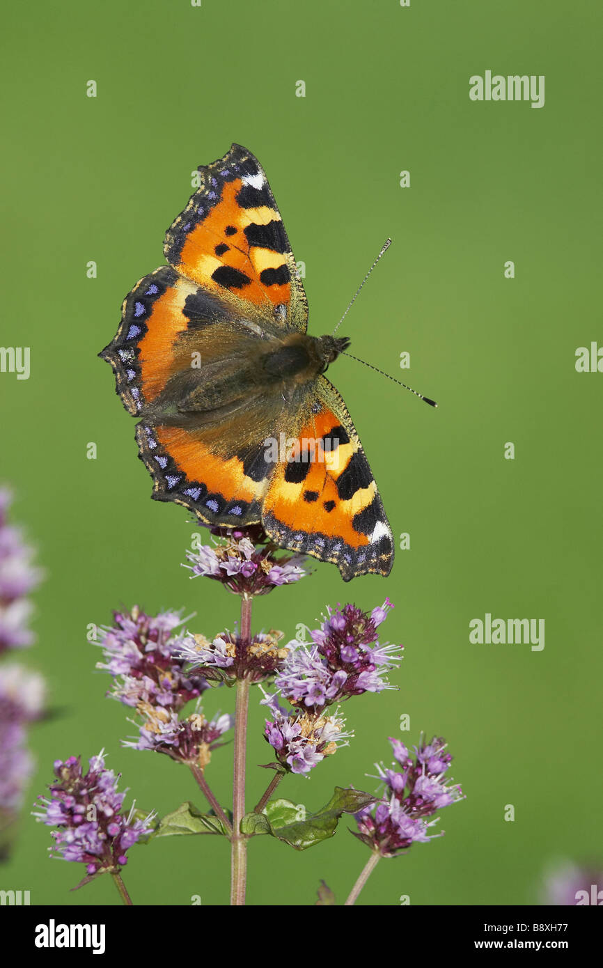 Small Tortoiseshell (Aglais urticae), adult resting on flowering mint - Stock Image