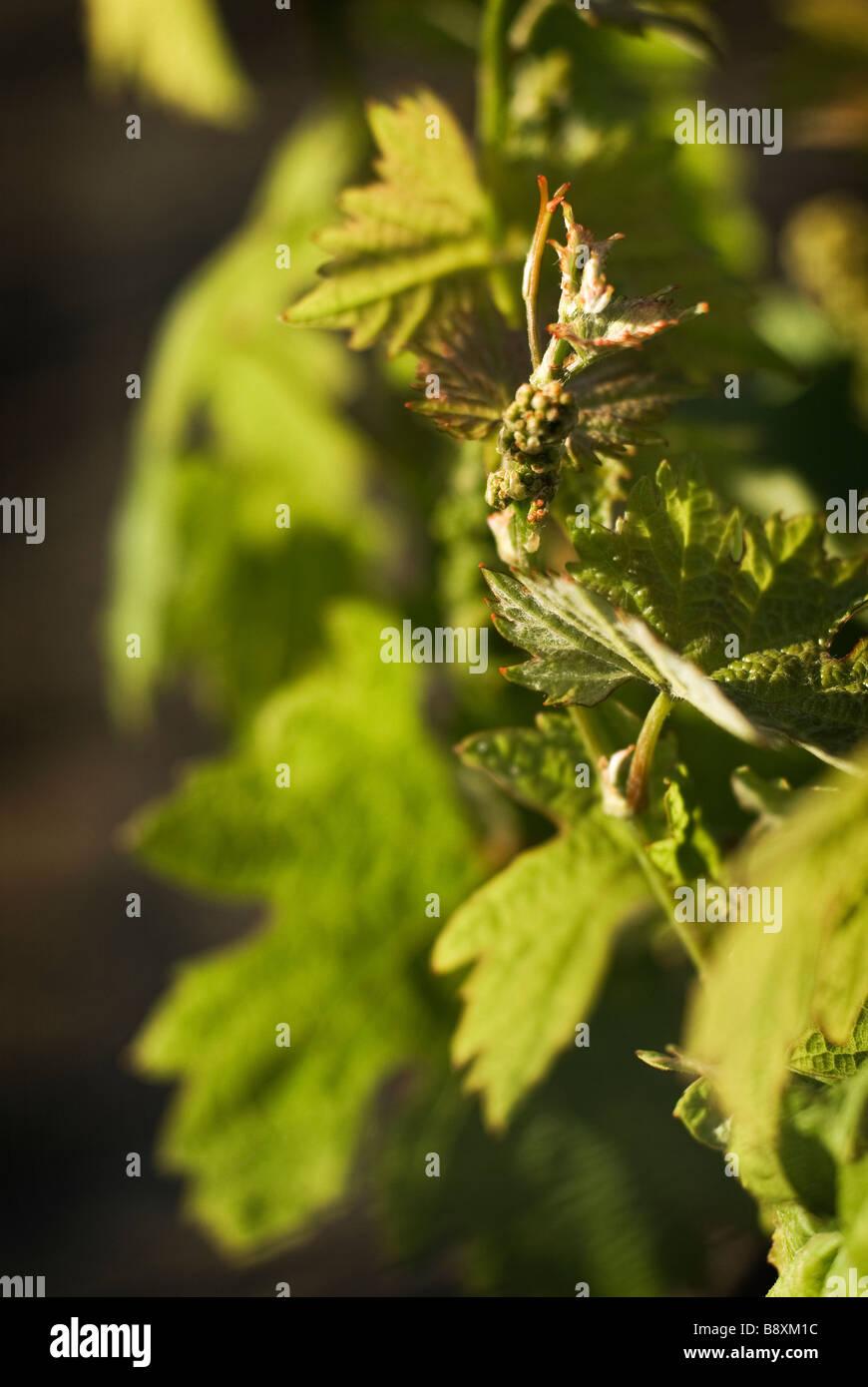 wine vineyard crop - Stock Image