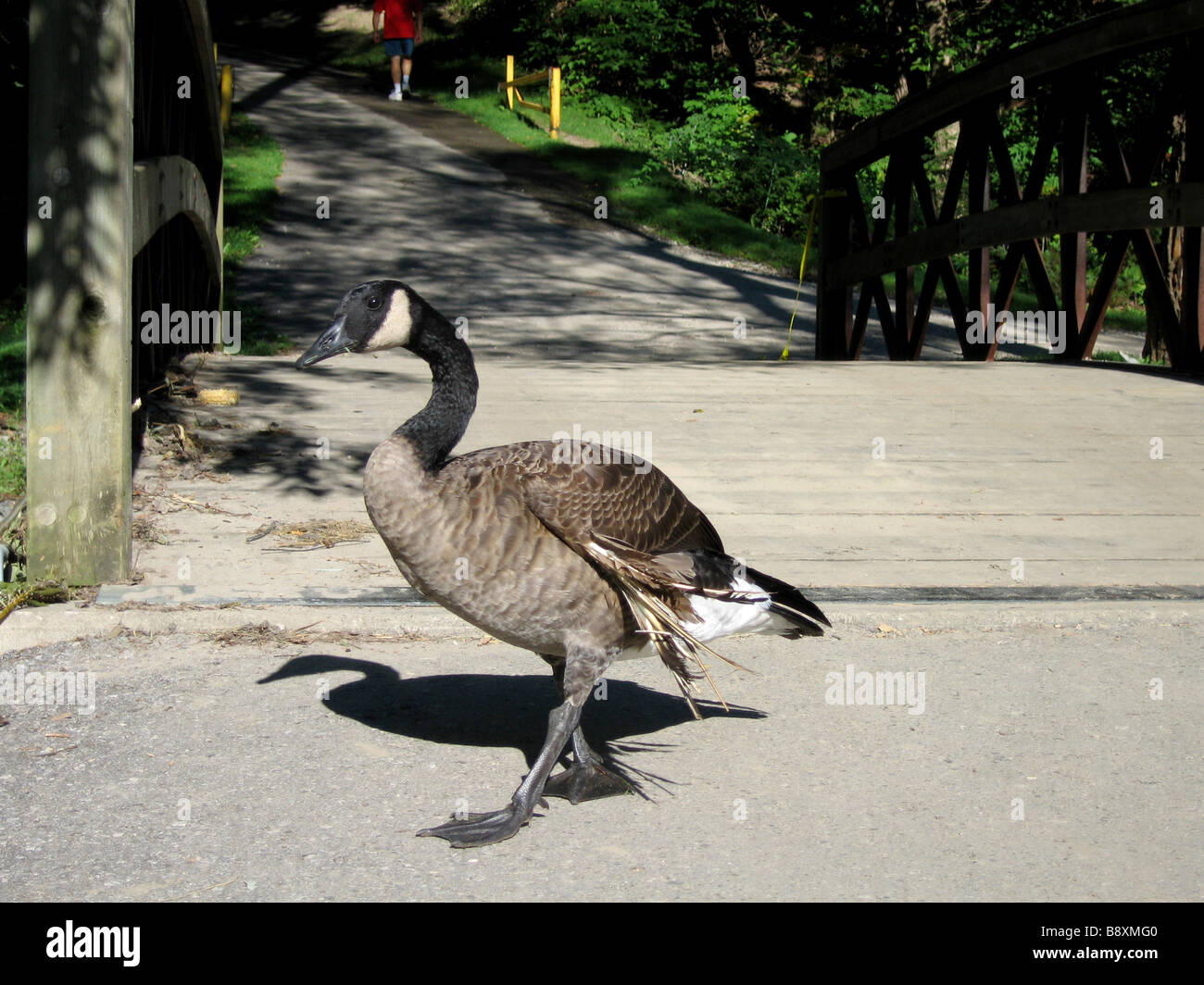 An injured Canada goose unable to fly because of a damaged wing walks around a public park searching for the rest - Stock Image