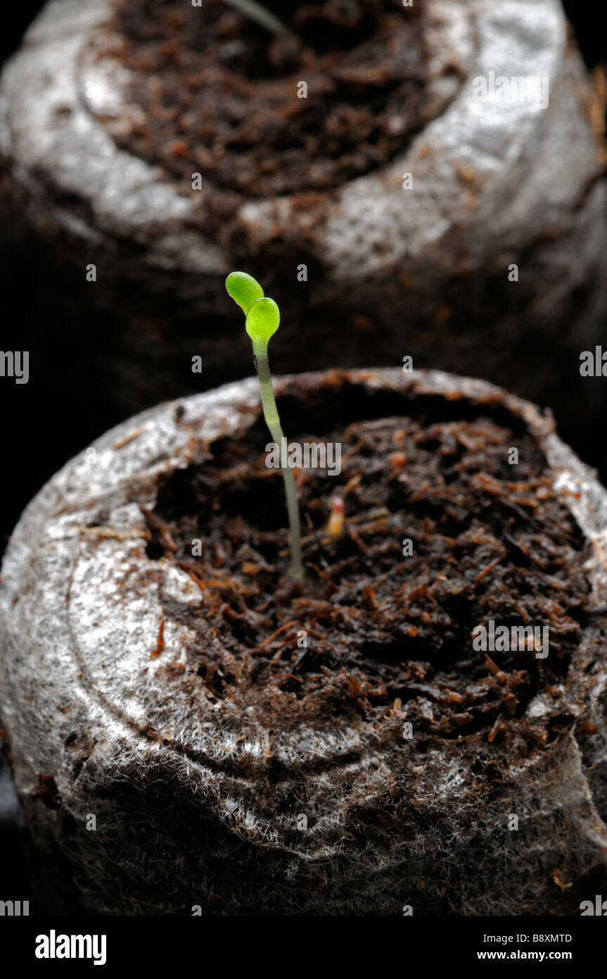 Seedling single one sprout sprouting in compost black background - Stock Image