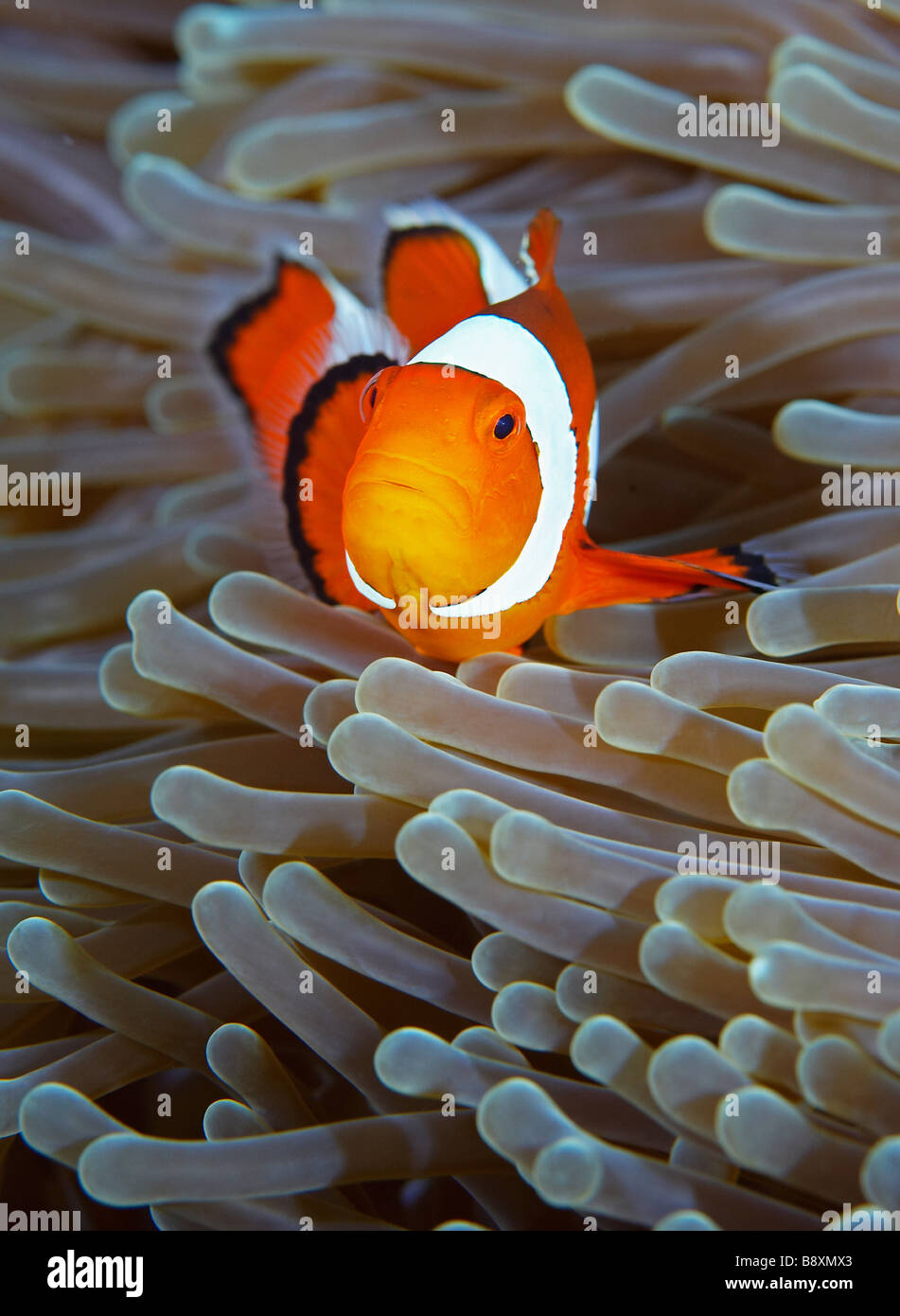 False Clown Anemonefish, Amphiprion ocellaris, Northern Sulawesi, Indonesia Stock Photo