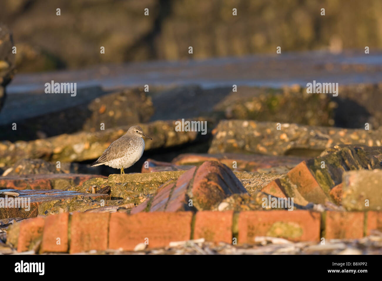 Red Knot Standing Stock Photos Images Alamy Redknot Shoes Tech Brown Calidris Canutus Amongst Bricks Norfolk England Image