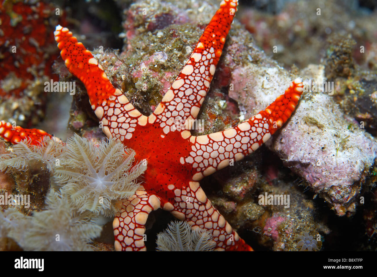 Sea Star (Fromia monilis) in the Lembeh Straits North Sulawesi, Indonesia - Stock Image
