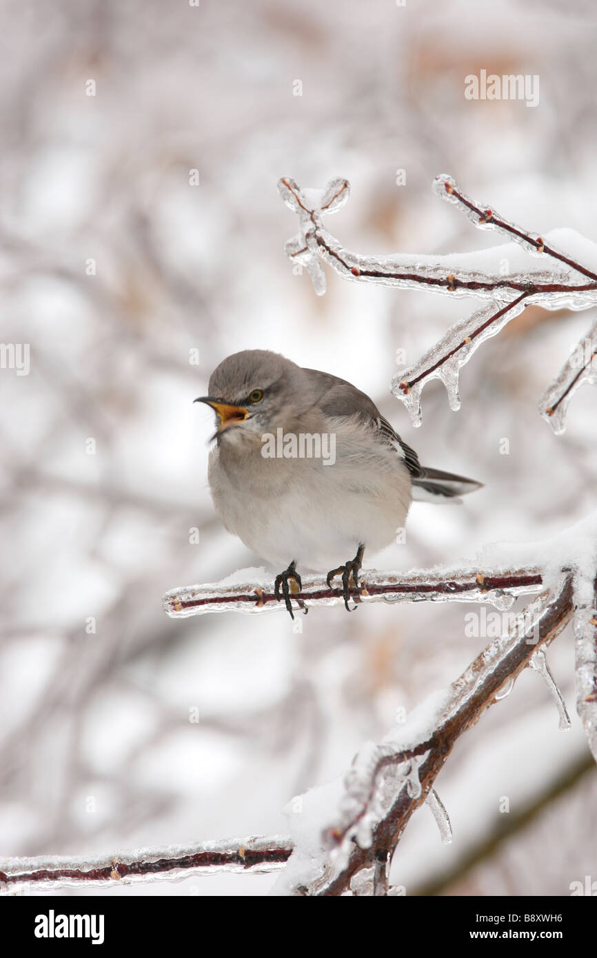 Northern Mockingbird Singing on Ice Covered Branch - Vertical Stock Photo