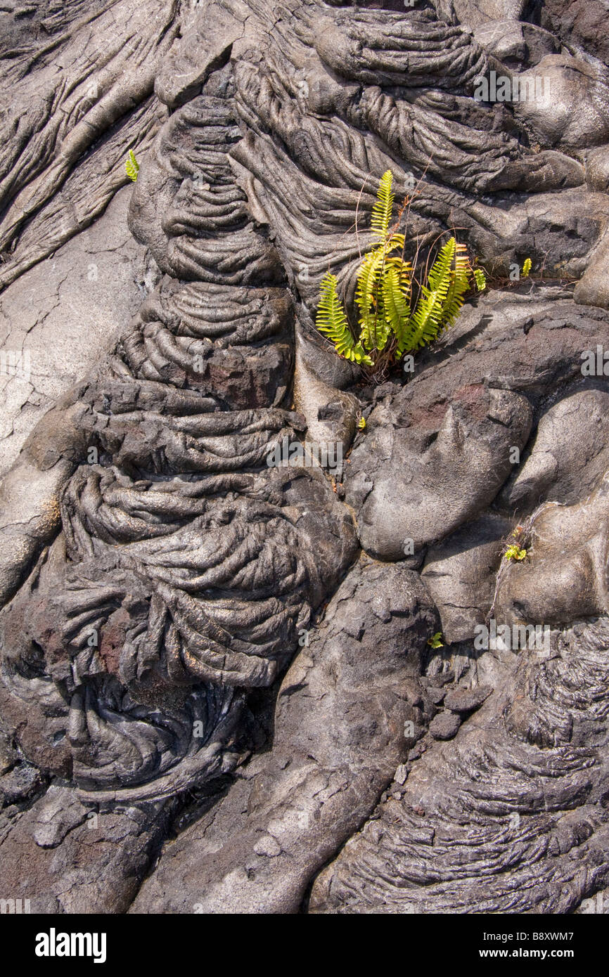 First plants rooted in pahoehoe lava on Big Island, Hawaii, USA. - Stock Image