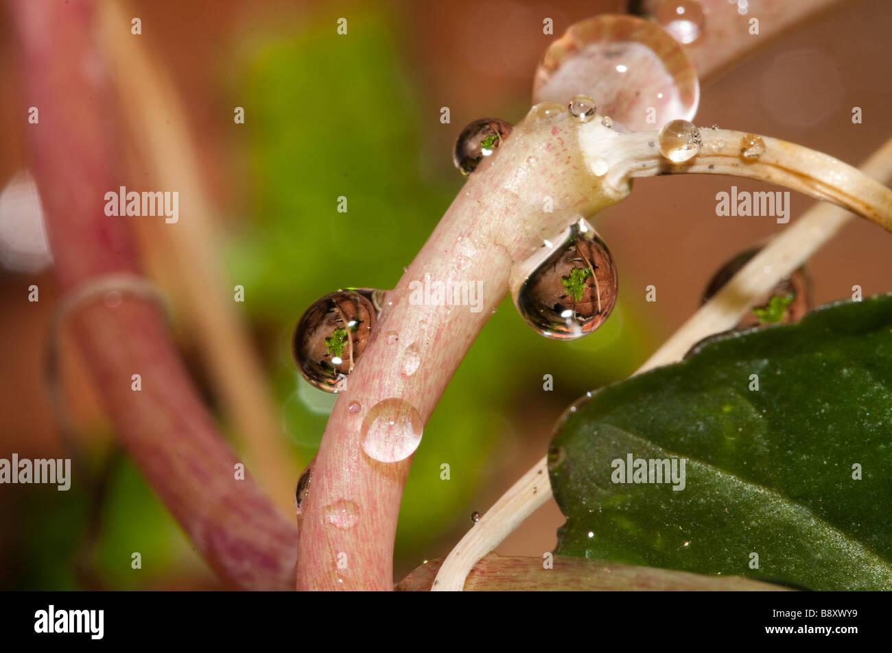 Raindrops in my garden Sigma 150mm macro on Nikon D300 - Stock Image